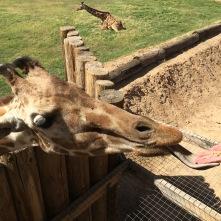 Giraffe tongues are freaky!